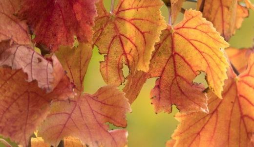 赤ブドウ葉エキス化粧水のその後