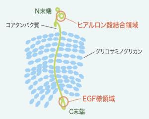 プロテオグリカンの構造